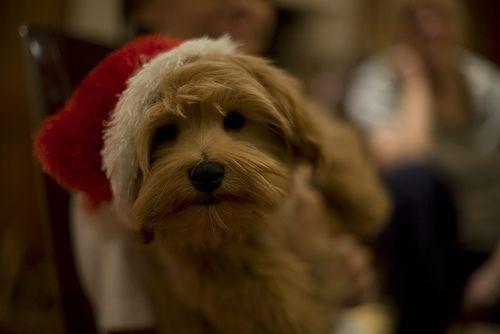 Dogs in Christmas hats