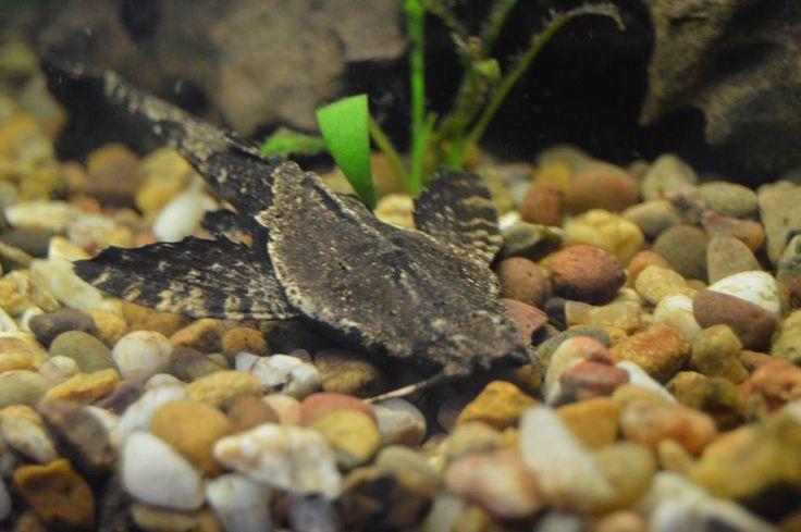 Banjo catfish My tank & pond Pinterest