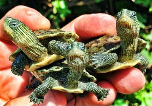 Baby water turtles Animals that I love Pinterest