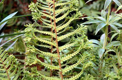plants for shade Dryopteris filix-mas 'Cristata' AGM | 407 x 268 · 39 kB · jpeg
