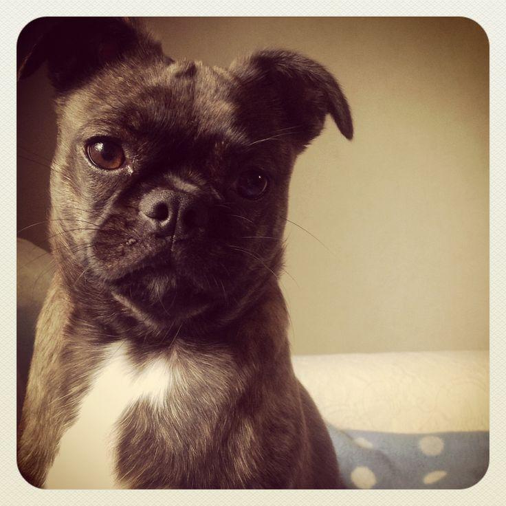 Pug and Boston Terrier mix   Nahla Bear   Pinterest