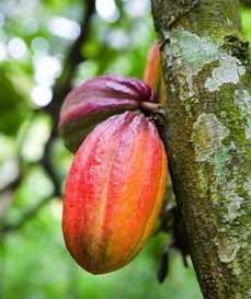 The cocoa tree – Theobroma Cacao – grows in the warm and humid equatorial belt.