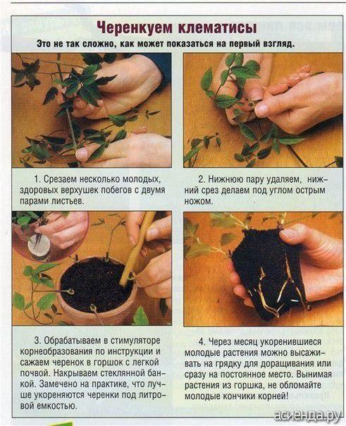 Как сажать черенки клематис 395