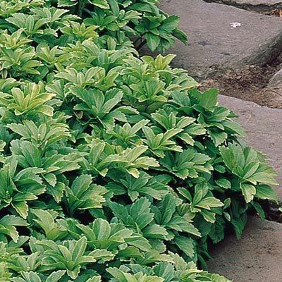 pachysandra  Found on dutchbulbs.co.uk