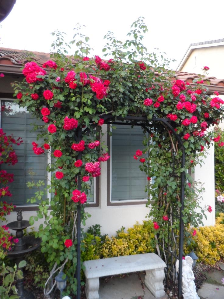 Climbing roses on trellis graden pinterest - Climbing rose trellis ...