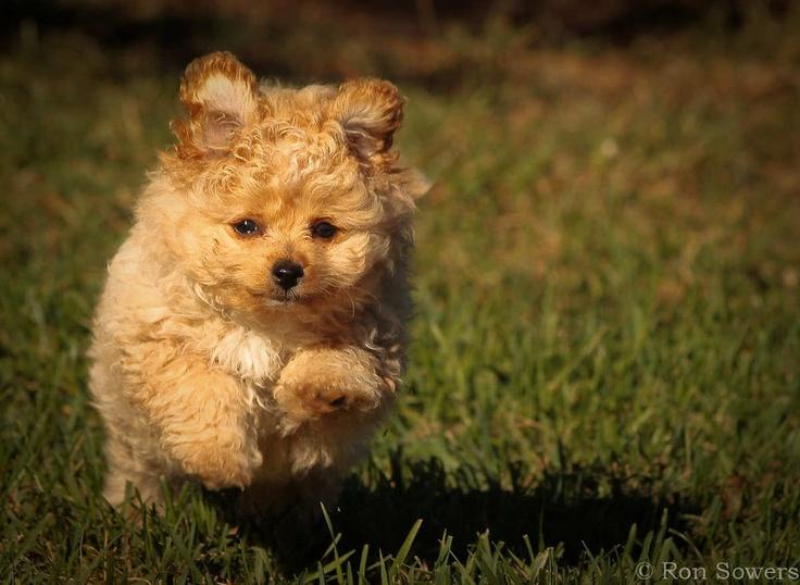 Pomapoo | Puppy Love | Pinterest