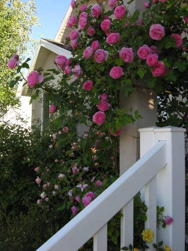 pin by elisabeth sutor on roses pinterest. Black Bedroom Furniture Sets. Home Design Ideas