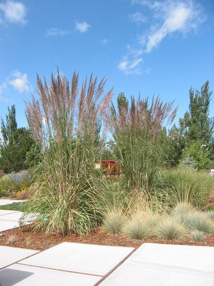 Ravenna grass garden ideas dreaming of spring for Best ornamental grasses for landscaping