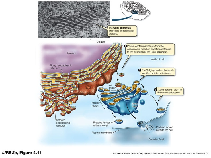 endomembrane system The endomembrane system is composed of the different membranes that are  suspended in the cytoplasm within a eukaryotic cell these membranes divide  the.