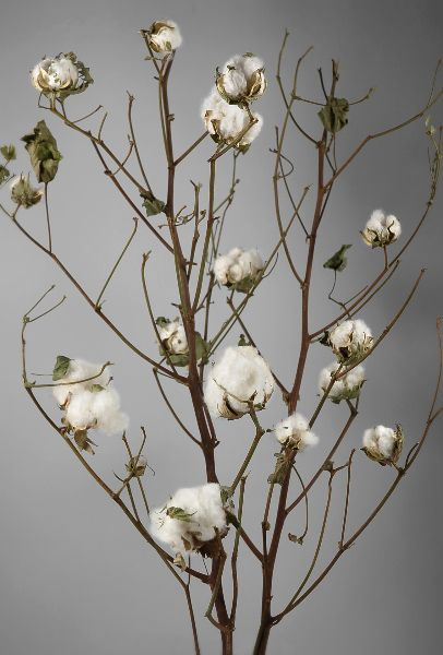 "Such a cute alternative to flowers.  I need some of these.  Natural Cotton Stalks 27"" Branches $5.99 each / 3 for $5 each"