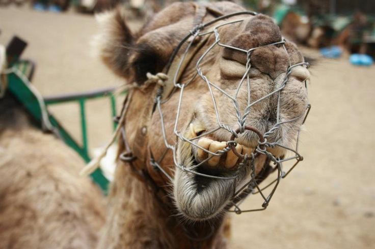 Retarded Camel Retarded camel from gran
