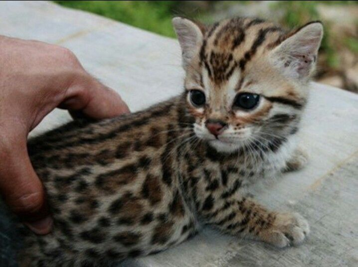 Baby Ocelot | Favorites | Pinterest