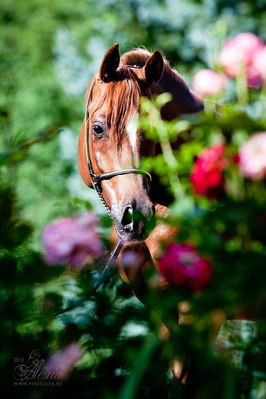 Arabian in rose garden