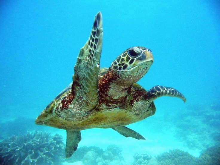 Search besides 2 Hawaiian Sea Turtle Pamela Walton Onesie as well Profilesofthesea further 10374434 593919824068779 3964918977962048726 n further Hala turk 2013 23213. on 77685
