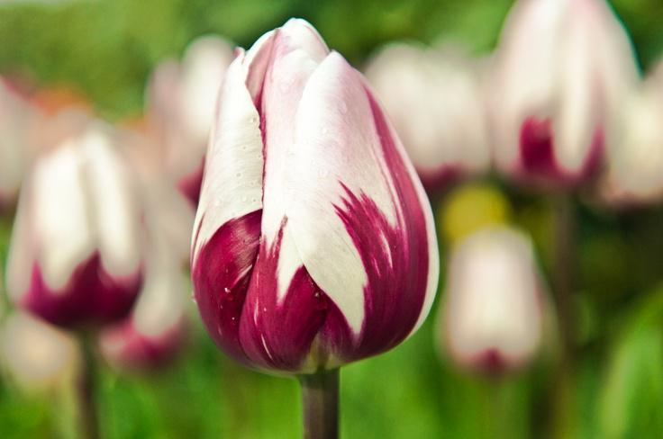Purple and white tulipsPurple And White Tulips