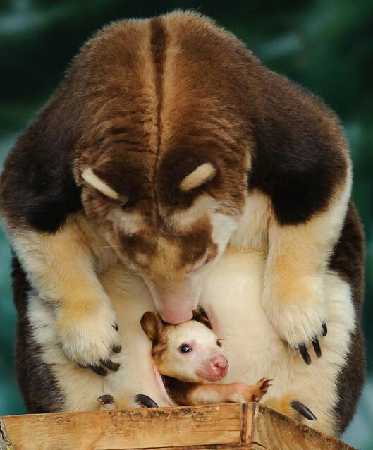 Tree kangaroo joey in mother's pouch | So Cute! | Pinterest