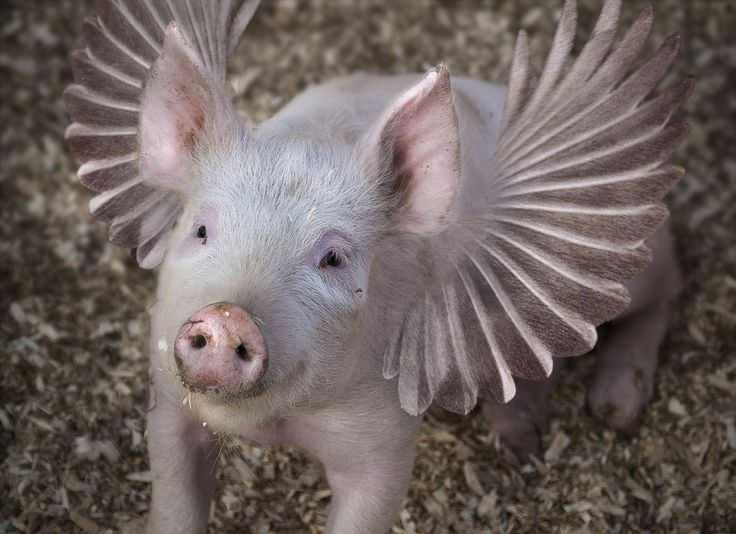 Pin by Lou Conaway on Flying Pigs | Pinterest