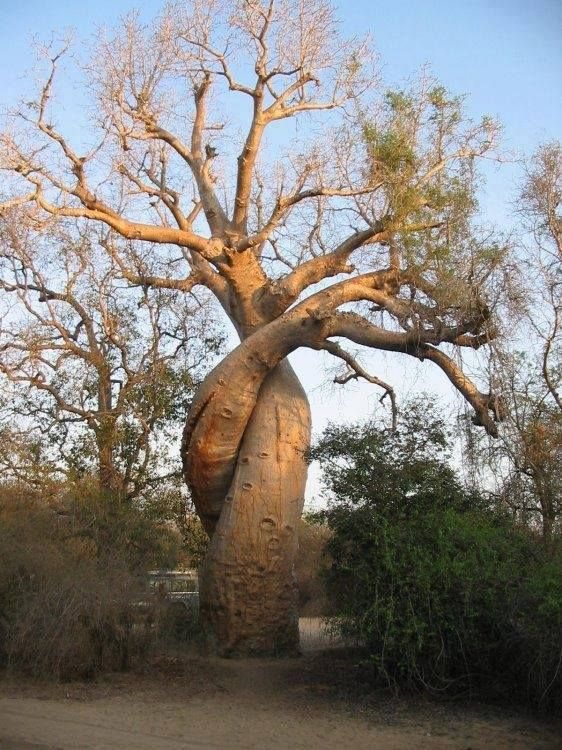 how to grow baobab trees mc