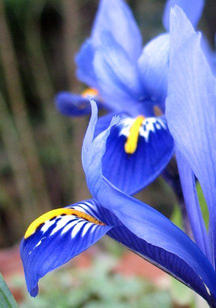 LANGAGE des FLEURS :  L'Iris est la fleur annonçant une bonne nouvelle prochaine quand elle est bleue. Les bouquets accompagnés d'Iris sont porteurs de bonnes nouvelles et indiqués pour célèbrer un moment festif.