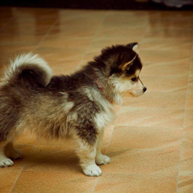 Pomeranian and Alaskan Malamute mix. . . So adorable.
