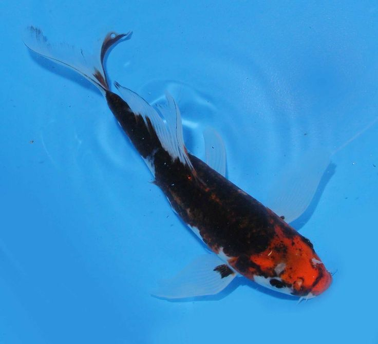 Live koi fish 8 9 goshiki butterfly rare variety long for Rare koi fish