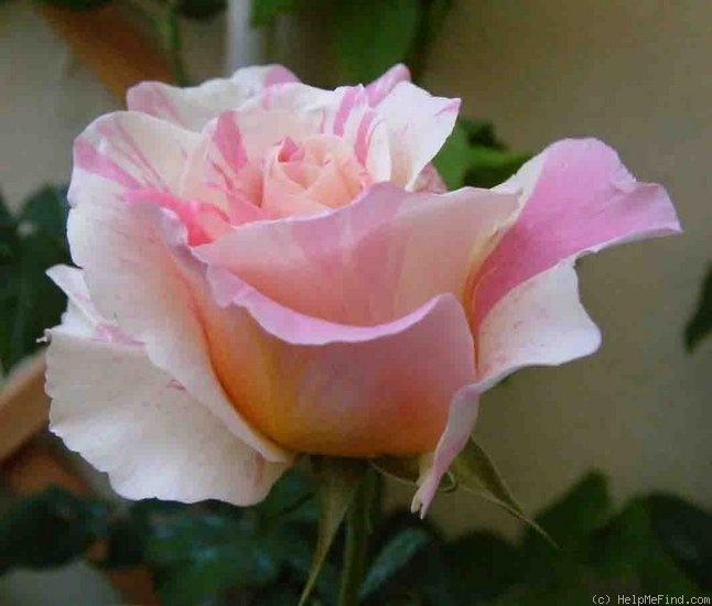 claude monet rose flowers pinterest. Black Bedroom Furniture Sets. Home Design Ideas