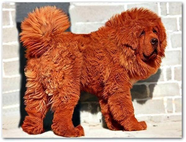 Mastin tibetano | Dogs...