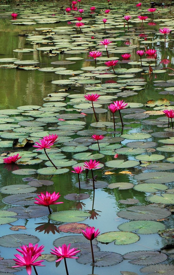 water lily pond waterlilies - photo #2