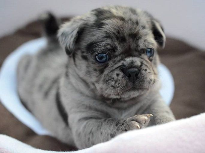 Pin by Bailey Puggins The Pug on PUG MIXED BREEDS | Pinterest