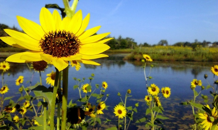 summer sunflowers andrea - photo #49