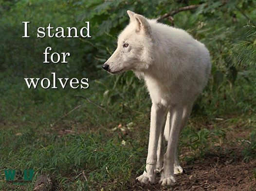 SPEAK OUT! Killing Contests Don't Belong on America's Public Lands! Though the BLM and Forest Service are responsible for protecting the health and integrity of our public lands, those agencies are aiding and abetting the bloodshed. Tell them to stop bowing to anti-wildlife extremists and instead to protect our native carnivores. PLZ SIGN AND SHARE WIDELY!