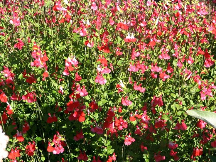 salvia greggii 39 hot lips 39 california native plants. Black Bedroom Furniture Sets. Home Design Ideas