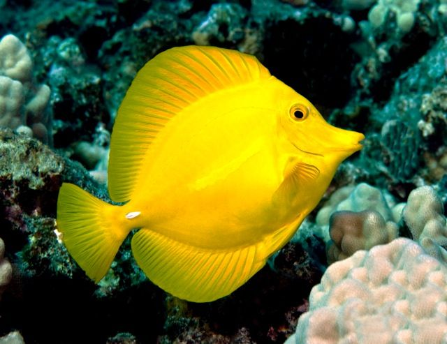Tropical fish called a yellow tang karen louise for Yellow tropical fish