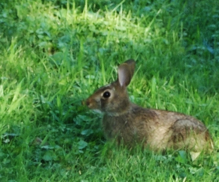 Wild Backyard Rabbits : We had wild brown rabbits like this in our yard frequently the kids