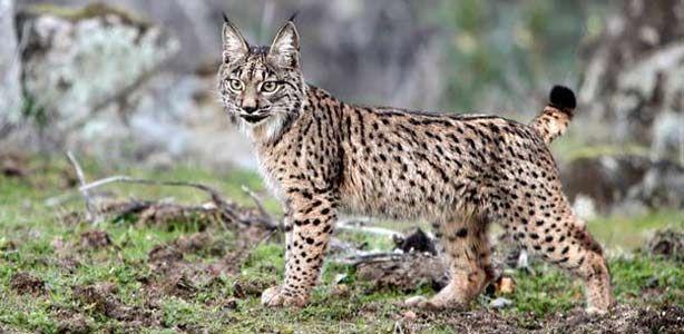 beautiful lynx's fur