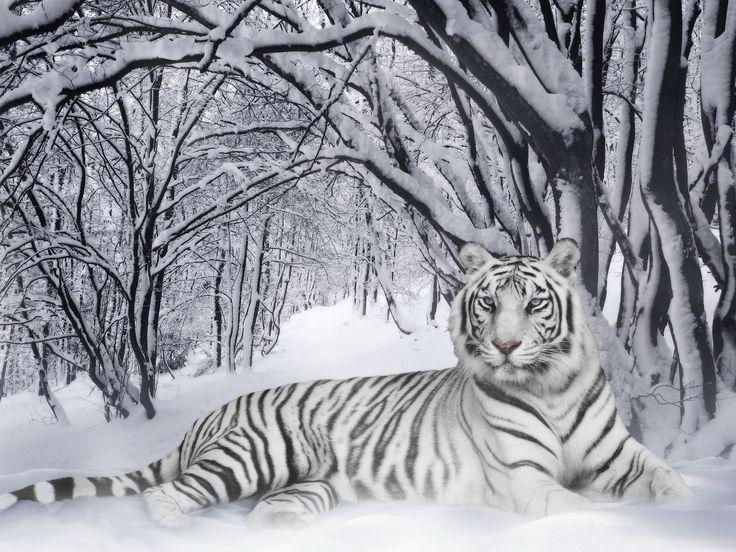 White siberian tiger in snow - photo#6