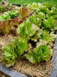 reducing bitterness in homegrown lettuce