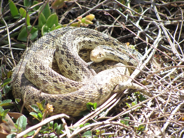 gopher snake animals in my back yard pinterest