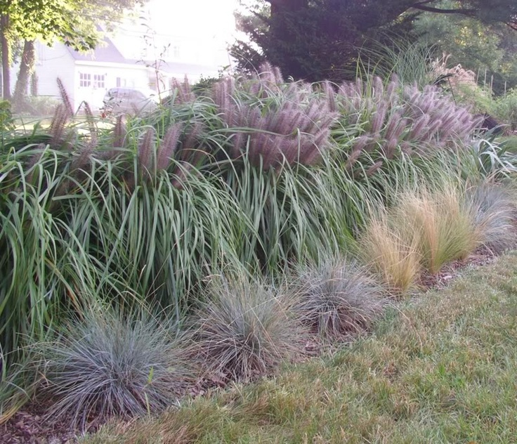 Ornamental grasses as hedge ornamental grasses pinterest for Best tall grasses for privacy