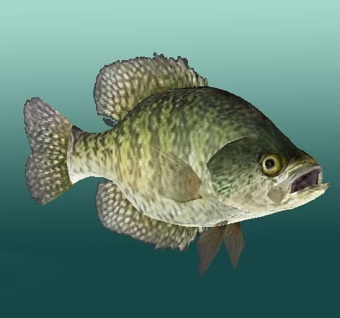 Crappie fishing google search mushrooms crappie for Pictures of crappie fish