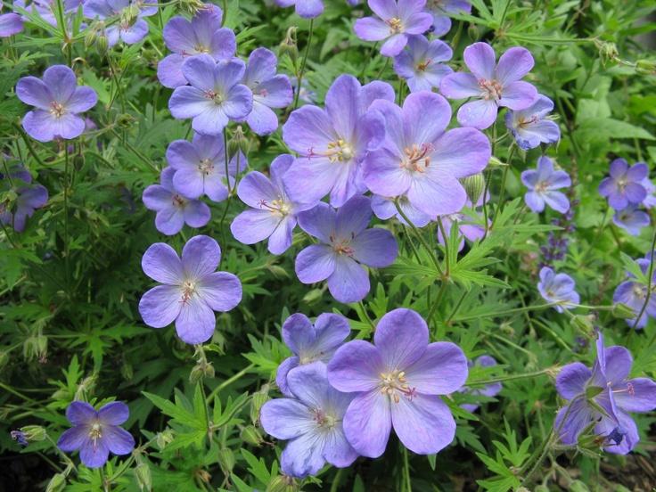 Wild blue geranium bay village