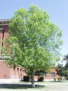 Ash tree arizona deciduous arizona trees pinterest