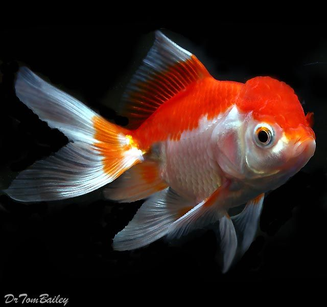 Red and White Oranda Goldfish Freshwater Fish Pinterest