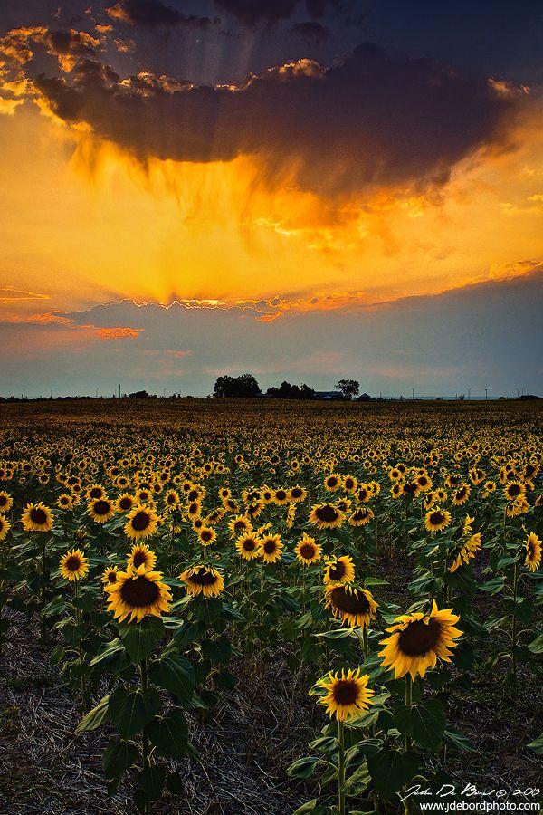 Sunflower Fields Colorado Color Pinterest