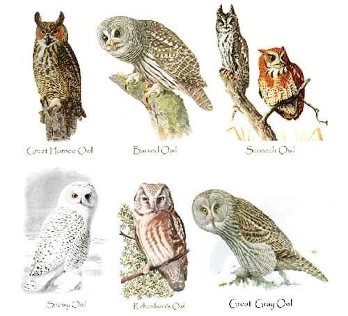 species of owls   imgkid     the image kid has it
