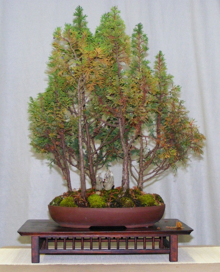 monterey cypress bonsai tree green thumb pinterest. Black Bedroom Furniture Sets. Home Design Ideas