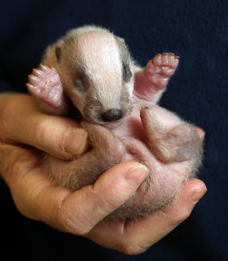 Baby Badger | Animal Lover | Pinterest - 69.4KB