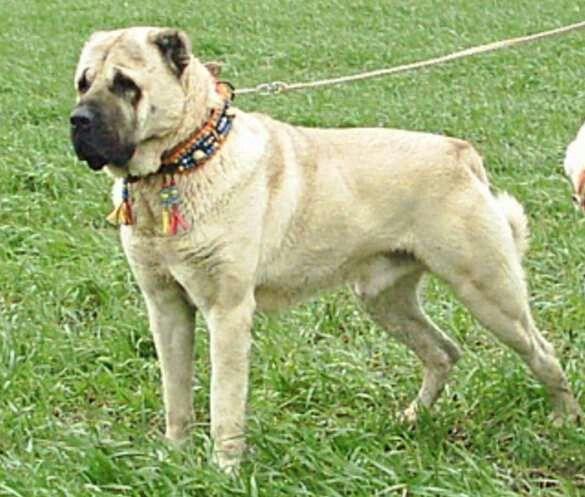 Turkhiş dog - Kangal | Turkish dog -Kangal | Pinterest