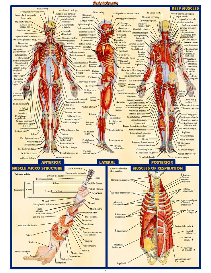 Pictures of human anatomy