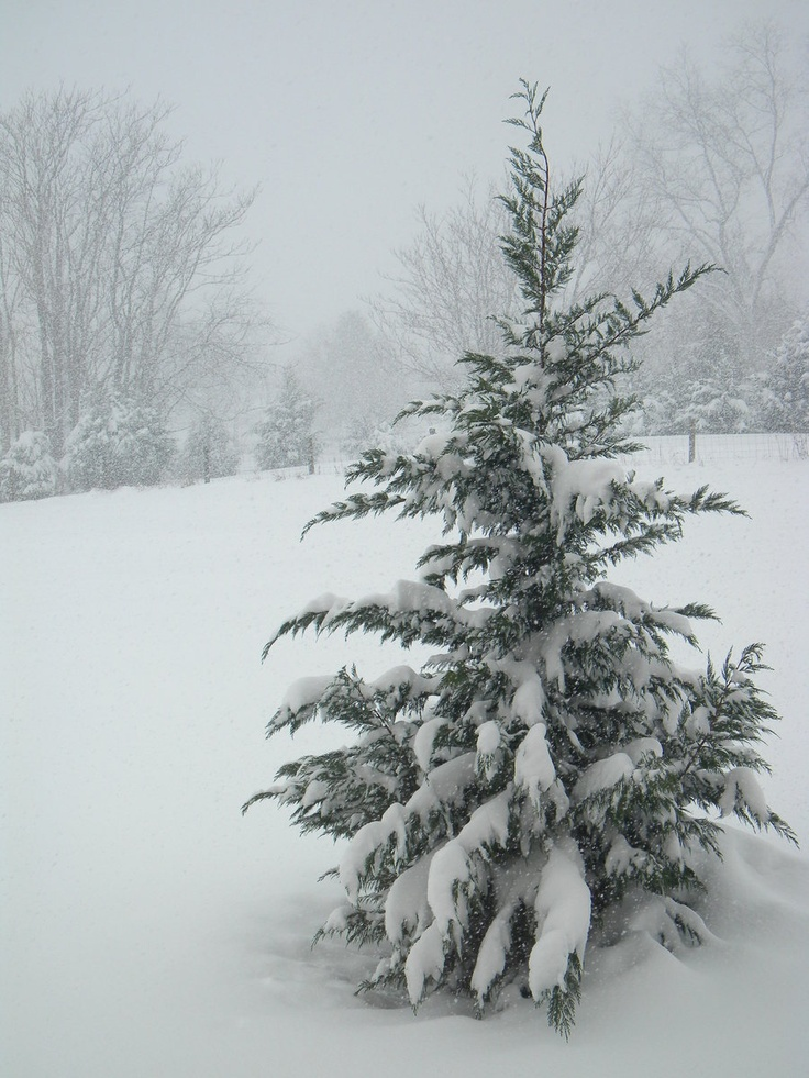 Snow covered tree gorgeous christmas my favorite holiday